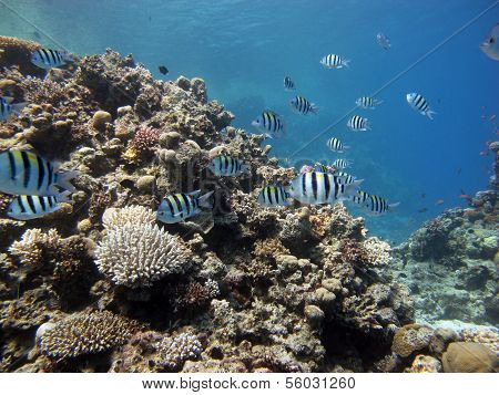 Damselfish shoal