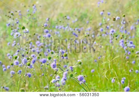 Succisa Pratensis Flowers On Meadow, Selective Focus