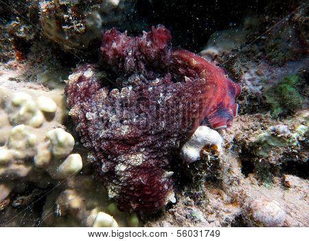Heart octopus