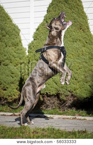 American Staffordshire Terrier Jumping High To Catch Dogfood