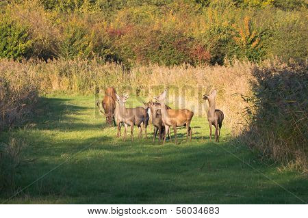 Herd Of Deer In The Fall At Sunset