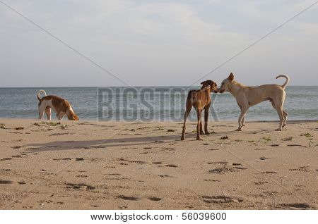 Stray Dogs On A Beach