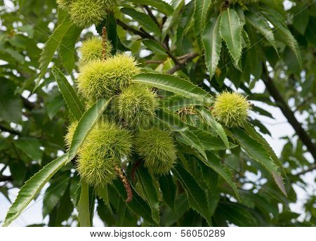 Chestnuts On Tree