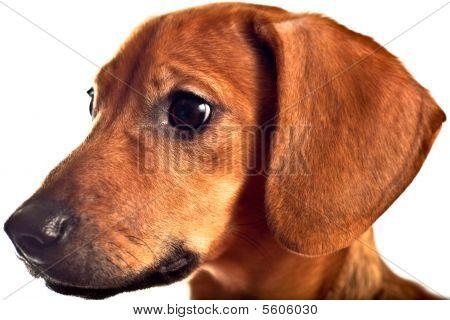 Cachorro bassê isolado em branco
