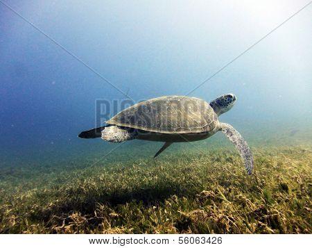 Turtle swimming away