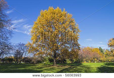 Oak Tree In A Park In October.