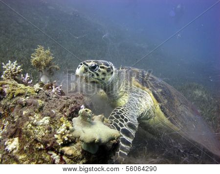 Turtle feeds on coral