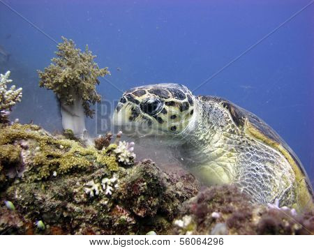Sea turtle meal