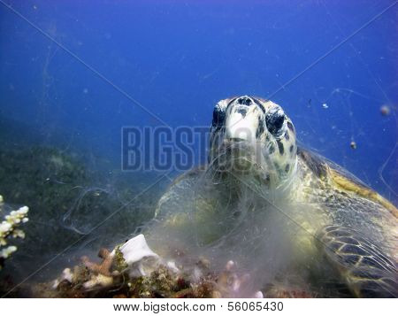 Turtle eating coral