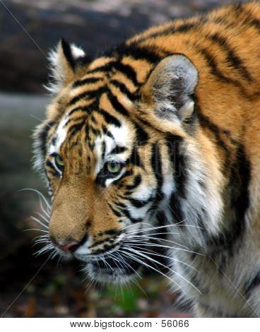 Gruñido de tigre