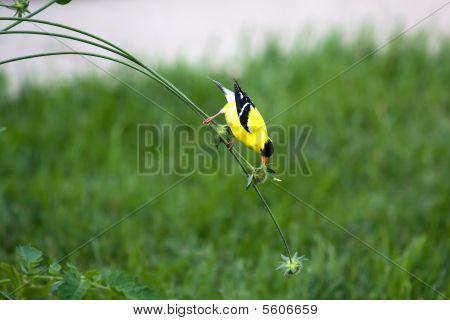 Goldfinch On A Stem