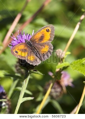 Gatekeeper Butterfly In Summer