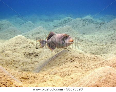 Yellow margin triggerfish