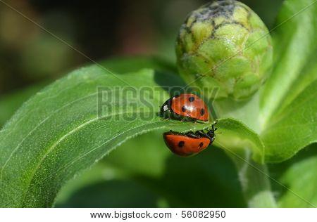 Two ladybugs