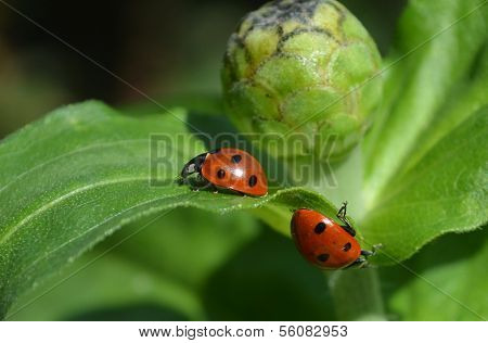 Two ladybugs in a contraway