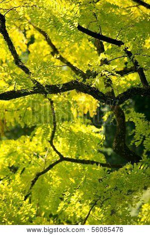 Ash Tree. Butchart Gardens, British Columbia, Canada.