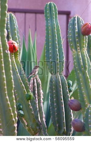 Peruvian Apple Cactus and bird