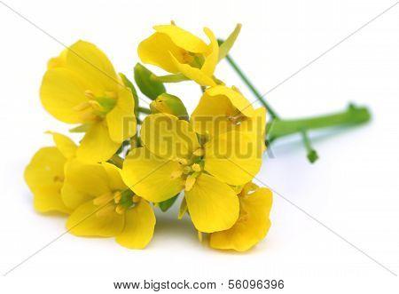 Edible Mustard Flowers