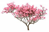 stock photo of sakura  - Sakura tree isolated on the white background - JPG