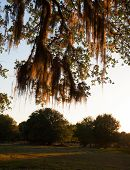pic of florida-orange  - Spanish moss glowing yellow and orange at sunset in Florida - JPG