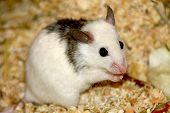 image of field mouse  - Mouse without shyness advances to ask for something