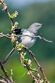 picture of mockingbird  - A Northern Mockingbird Perched in a Tree