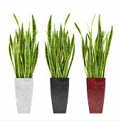 stock photo of sansevieria  - Decorative grass plant in flowerpot - JPG