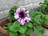 stock photo of petunia  - Petunia blooming flowers in the wide flowerpot - JPG