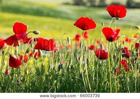 Closeup of red poppies in a poppy field in Tuscany