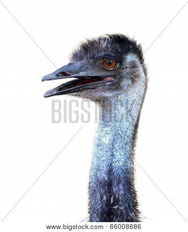 Emu Head Isolated