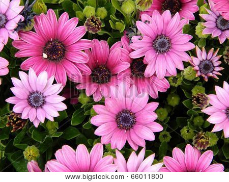 Bright pink African daisies and buds unblown