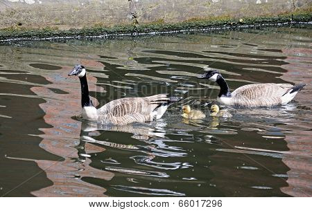 Canada geese and goslings.
