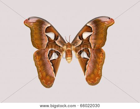Attacus Atlas, One Of The Largest Butterflies Of The World.