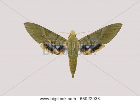 Butterfly Of Pholus Labruscae.