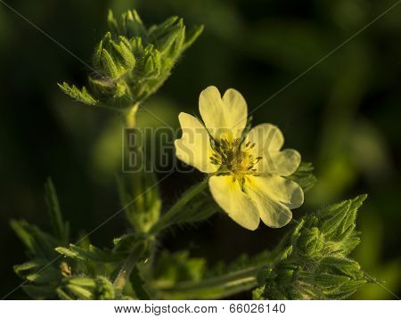 Upright Cinquefoil. Potentilla Recta. Yellow Wildflower with Fuzzy Leaves.
