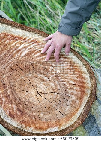 Hand Shows Concentric Rings In The Wood Of  Tree Trunk