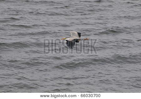 A Heron In Flight.