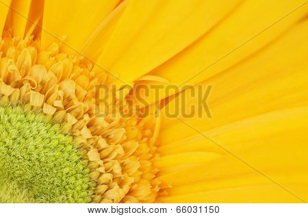 Yellow Gerbera Flower Detail