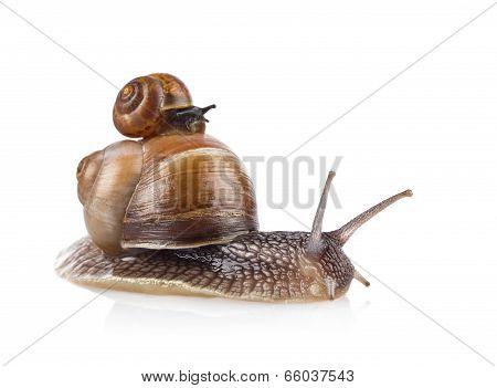 Garden Snail (helix Aspersa) Taxi