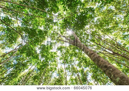 Background Of Green Rubber Tree