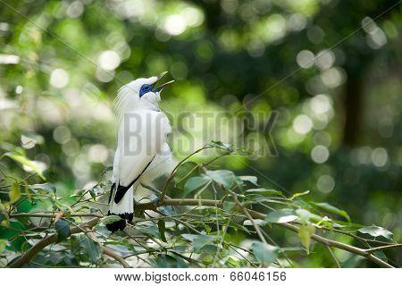 White Bali myna bird singing on branch