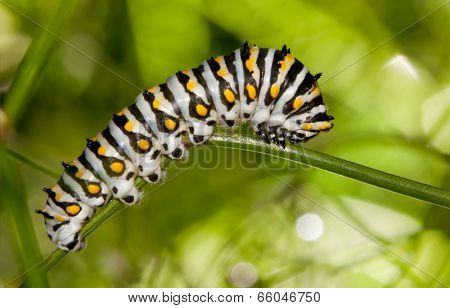 Beautiful black, white and yellow Black Swallowtail caterpillar