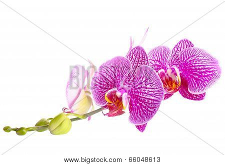 Blooming Stripped Purple With White Orchid, Phalaenopsis Is Isolated On White Background