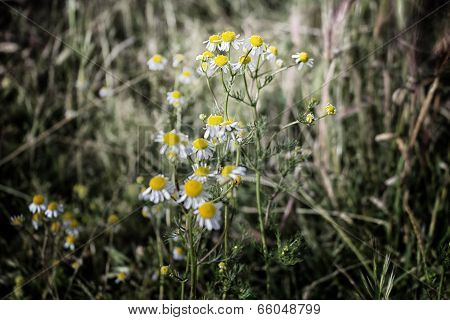 Chamomile Flowers On Weeds Background