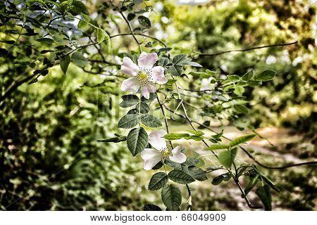 Rosa Canina In Pinewood Forest Near Marina Romea