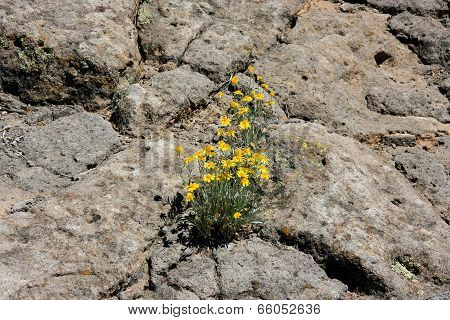 False Goldenasters In New Mexico