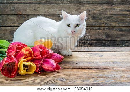 White angora cat and tulip