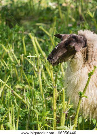 Sheep eating hogweed
