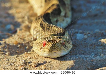 Puff Adder - Snake Background from Africa - Fear and Intimidation from Scary Nature