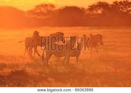 Zebra - African Wildlife Background - Sunset Orange of Freedom